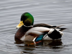 birds-ducks-mallard_153152